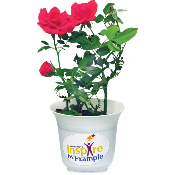 Live Mini Potted Roses