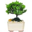 """Bonsai Tree in 4 inch Container - 2 Years Old - Mini Japanese Juniper Bonsai Tree planted in 4"""" Ceramic Container"""