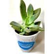 Assorted Succulents in White Plastic Pot - Succulents in Pot