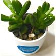 Assorted Succulents in White Ceramic Pot - Succulents in White Ceramic Pot