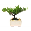"""Bonsai Tree in 5 inch Container -  3-4 Year Old - Japanese Juniper Bonsai Tree planted in 5"""" Ceramic Container"""
