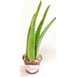 Aloe Vera Plant in Colored Metal Buckets - Aloe Vera Plant in Colored Metal Buckets