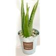 """Aloe Vera Plant in Silver Bucket - Aloe Vera Plant in 6"""" Silver Bucket. 6-8""""- standard, 8-10""""- add.10 net, 10-12"""" -add.20 net. Add river rocks for .49T. Includes 2 p"""