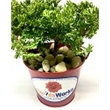 """Juniper Bonsai Plant in Metal Bucket - 2-3 Year Old Juniper Bonsai Tree in 3"""" Metal Bucket. 2 Peat pellets are included. Add.49T for individually bagged river rocks."""