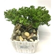 """Juniper Bonsai Plant in White Plastic Pot - 2-3 Year Old Juniper Tree in 2 1/2"""" White Plastic Pot. Includes 2 peat pellets. Add .49T for individually bagged river rocks."""