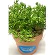 "Juniper Bonsai Plant in Terra Cotta Pot - 2-3 Year Old Juniper Bonsai Plant in 3"" Terra Cotta Pot. Includes 2 peat pellets. Add .49T for individually bagged river rocks."