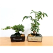 """Bonsai Tree in 6 inch Container - 4-5 Years Old - Japanese Juniper Bonsai Tree is approximately 4-5 years old and planted in a 6"""" ceramic container."""