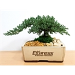 Bonsai Tree in 8 inch Container - 5-7 Year Old - Bonsai Tree 5-7 Year Old in 8 inch Ceramic Container