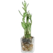 Bamboo plant - Bamboo plant with glass vase.