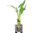"""Lucky Bamboo - 3 shoots of 4"""" Lucky bamboo in a 2"""" shot glass container."""