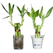 Bamboo Plant - 2 shoot lucky bamboo plant in shot glass or metal bucket.