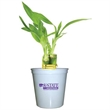 """Lucky Bamboo - 3 shoot bamboo plant in a 3"""" plastic cup and lid."""