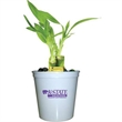 """Lucky Bamboo - 3 bamboo shoots plant in 3"""" plastic cup and color marbles."""