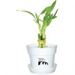 """Lucky Bamboo - 4"""" bamboo plant in plastic pot and saucer."""