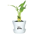 """Lucky Bamboo - Three shoots bamboo plant in a  4"""" plastic pot with color marbles."""