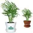 Bella Palm Plant - Bella Palm plant in plastic pot or terra cotta.