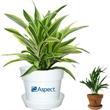 Dracaena Plant - Dracaena plant in plastic pot or terra cotta.