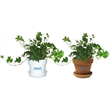 English Ivy Plant - English Ivy plant in plastic pot or terra cotta.