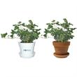 Ivy Hedera in Plastic Pot or Terra Cotta - Ivy Hedera in plastic pot or terra cotta.