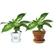 Dieffenbachia Compacta - Indoor plant in plastic pot or terra cotta.
