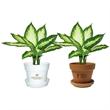 Dieffenbachia Camile - Indoor plant in plastic pot or terra cotta.