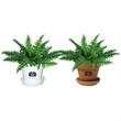 Fern - Indoor plant in plastic pot or terra cotta.