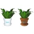 Janet Craig - Indoor plant in plastic pot or terra cotta.
