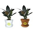 Ficus Elastica - Indoor plant in plastic pot or terra cotta.