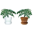 China Doll - Indoor plant in plastic pot or terra cotta.