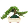 Bonsai Tree in 10 inch Container - 7-9 Years Old - Bonsai Tree 7-9 Years Old in 10 inch Container